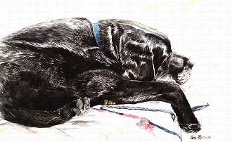 Old Sleepy Black Labrador